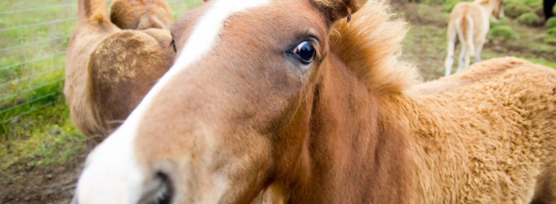 Ісландський коник